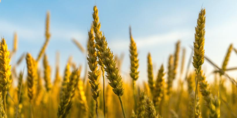 wheat in grain field